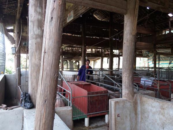 母猪产房工作中